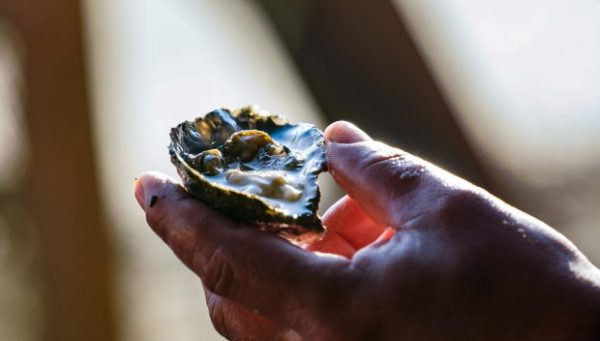 Secretaria da Agricultura libera cultivos de ostras e mexilhões em Palhoça